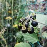 Solanum nigrum Owoc