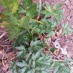 Arracacia xanthorrhiza