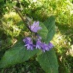 Campanula rapunculoides Pflanze