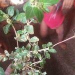 Euphorbia hirta Feuille