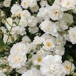 Rosa moschata