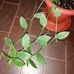 Tradescantia fluminensis Leaf