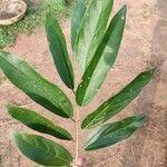 Alangium salviifolium