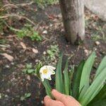 Leucojum vernum Flower