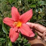 Hibiscus boryanus Cvet