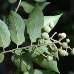 Mortoniodendron