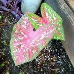 Caladium bicolor List