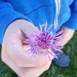 Centaurea scabiosa Blomma