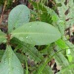 Badula decumbens