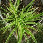 Chlorophytum comosum List