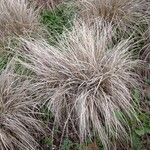 Carex comans