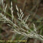 Eragrostis virescens