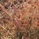 Chrysopogon plumulosus Leaf