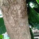 Tabernaemontana macrocarpa