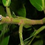 Ficus popenoei