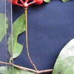 Desmopsis maxonii