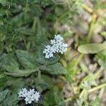 Heliotropium ramosissimum Kukka