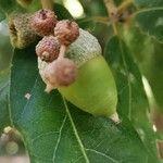 Quercus × hispanica