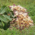 Chrysobalanaceae