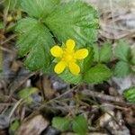 Potentilla indica Flor