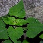 Fleischmannia microstemon