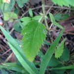 Tragia urticifolia
