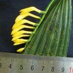 Corymborkis flava