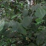 Piper pseudofuligineum