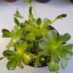 Aeonium spp.
