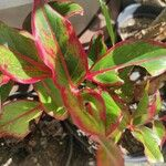 Aglaonema commutatum Leaf
