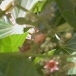 Cola cordifolia
