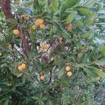 Arbutus unedo Plod