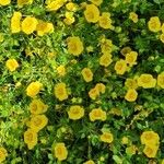 Mecardonia procumbens