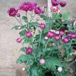 Chrysanthemum indicum Flor