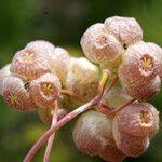 Valerianella vesicaria