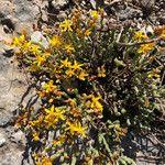 Hypericum ericoides