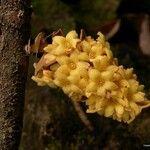 Acropogon calcicolus