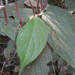 Piper polytrichum