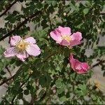 Rosa fedtschenkoana