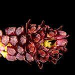 Bulbophyllum atrorubens