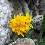 Jacobaea leucophylla