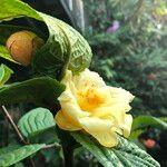 Camellia petelotii
