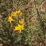 Solanum chilense