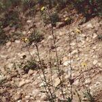 Hieracium concinnum