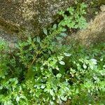 Pilea microphylla List