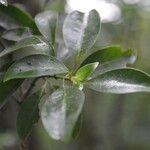 Psychotria chiriquina
