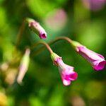 Oxalis articulata Fleur