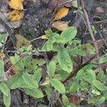 Salix salviifolia