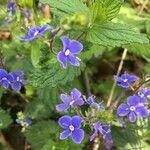 Veronica chamaedrys 花