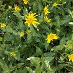 Arnica latifolia